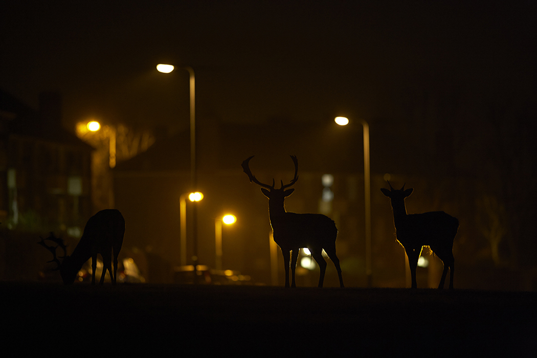 Low Light Photography The Urban Deer